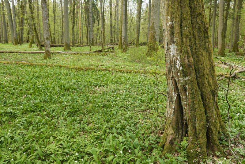 Piękny widok na oryginalny las Białowieski, Polska obrazy royalty free