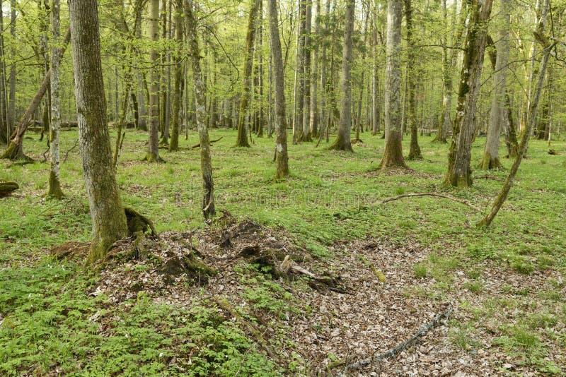 Piękny widok na pierwotny las Białowieski, Polska zdjęcia royalty free