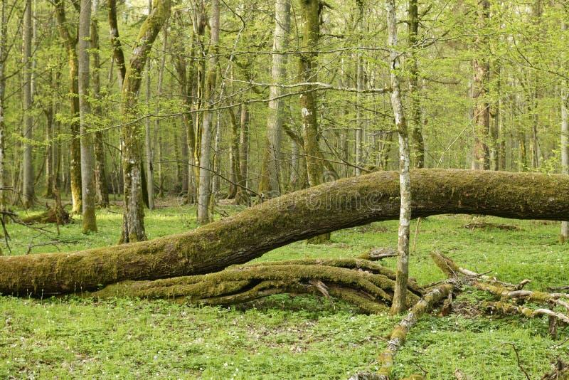 Piękny widok na pierwotny las Białowieski, Polska obrazy stock