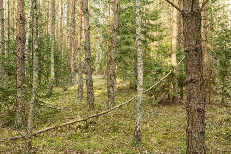 Piękny widok na pierwotny las Białowieski, Polska zdjęcie stock