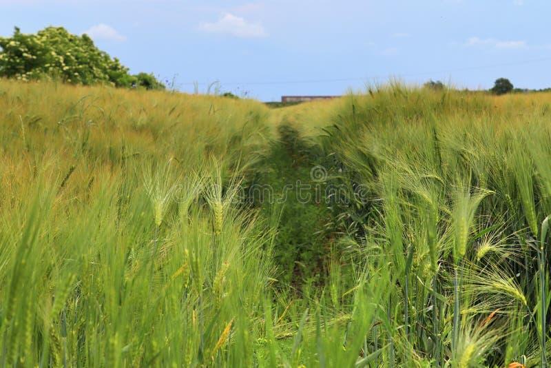 Piękny widok na rolniczym uprawy polu na słonecznym dniu z niebieskim niebem i niektóre chmurnieje obrazy royalty free