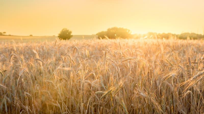 Piękny widok złocista pszeniczna uprawa flied krajobraz w Hiszpania fotografia royalty free