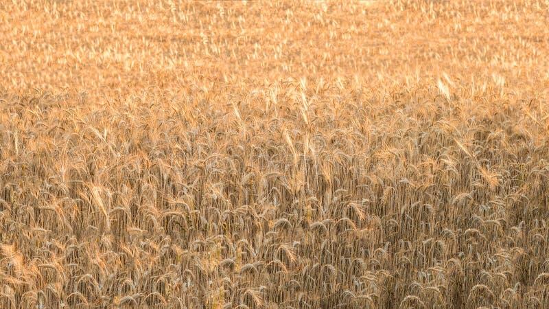 Piękny widok złocista pszeniczna uprawa flied krajobraz w Hiszpania fotografia stock
