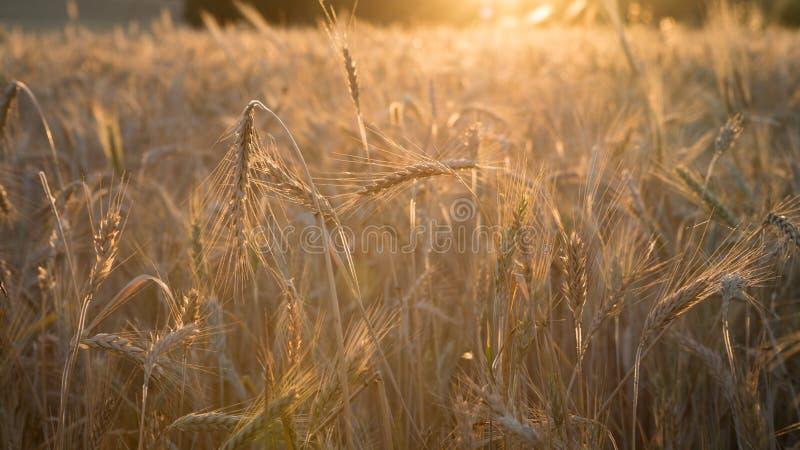Piękny widok złocista pszeniczna uprawa flied krajobraz w Hiszpania obrazy stock
