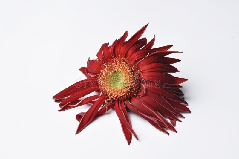 Piękny wielki czerwony kwiat Gerber z płatkami na białym tle Kwiat Gerber kosmos kopii obraz stock