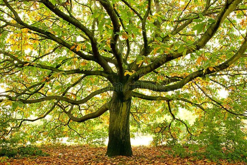 Piękny wielki dębowy drzewo, Londyn, Anglia obraz royalty free