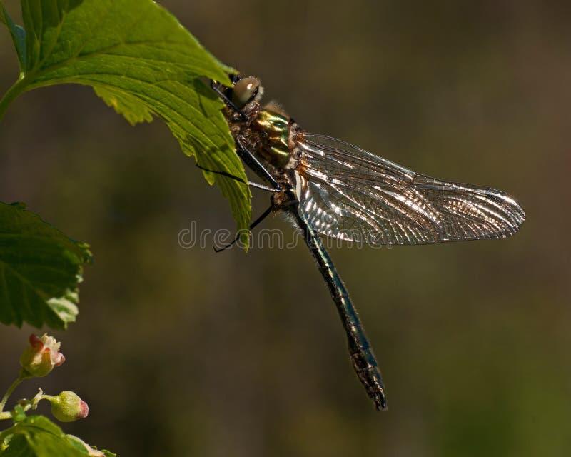 Piękny wielki dragonfly, Cordulia aenea zdjęcia stock