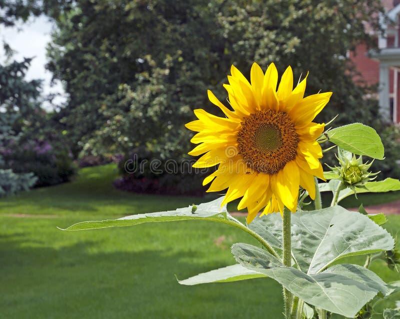 Piękny wielki słonecznik w ogródzie zdjęcia stock