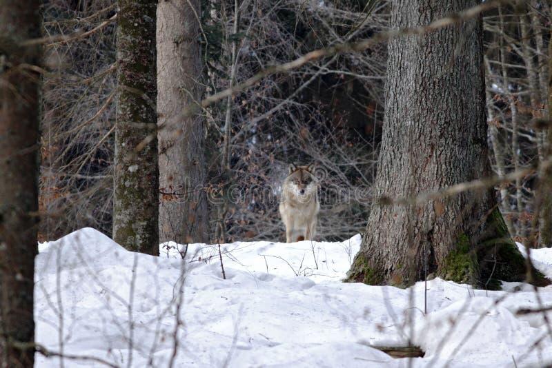 Piękny wilczy canis lupus w zimie, wilk w śnieżnym krajobrazie, atrakcyjna zimy scena z wilkiem, piękny zima krajobraz zdjęcia royalty free