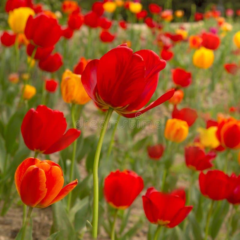 Piękny wildflower pole tulipany. zdjęcia royalty free
