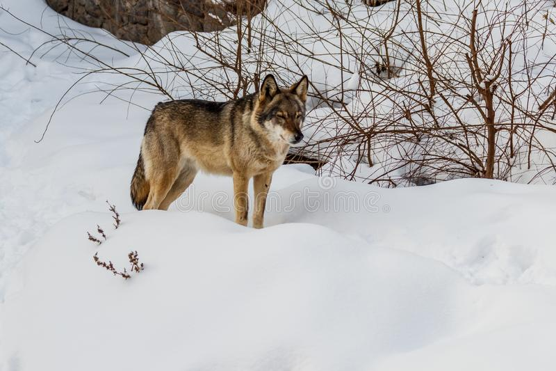 Piękny wilk na śnieżnej drodze obraz stock