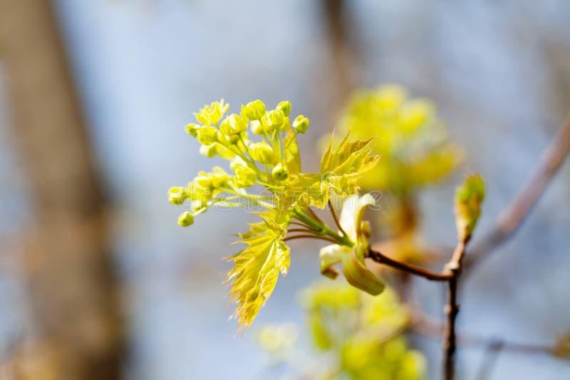 Piękny wiosna czasu kwiecisty tło Kwitnąca klonowa gałąź, kolorów żółtych kwiaty i świeży liścia zakończenie, selekcyjny obrazy royalty free