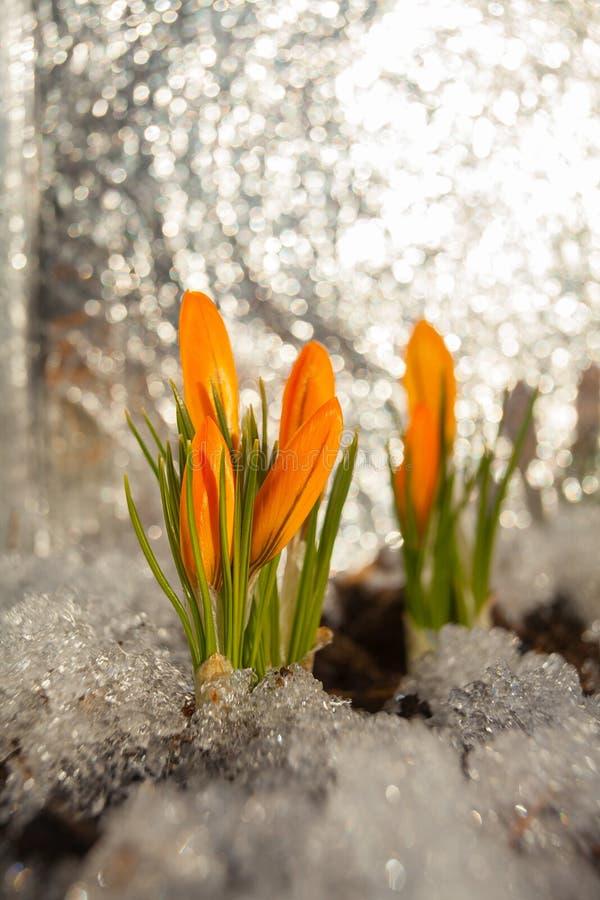 Piękny wiosna krokusa kwiat na tło wizerunku obraz royalty free