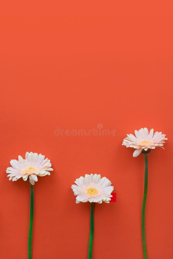 Piękny wiosna kwiat Gerber na barwionym tle Elegancki mieszkanie nieatutowy Minimalny poj?cie Mieszkania nieatutowy t?o obrazy stock