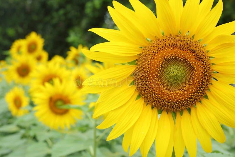 Piękny wiosna kwiat, słonecznikowy okwitnięcia kwitnienie w ogródzie zdjęcia stock