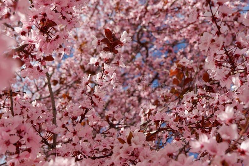 Piękny wiosny tło japoński czereśniowy okwitnięcie obrazy stock