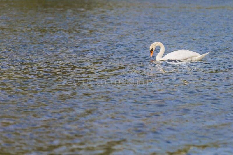 Piękny wizerunek biały łabędzi dopłynięcie na spokój wodzie fotografia royalty free