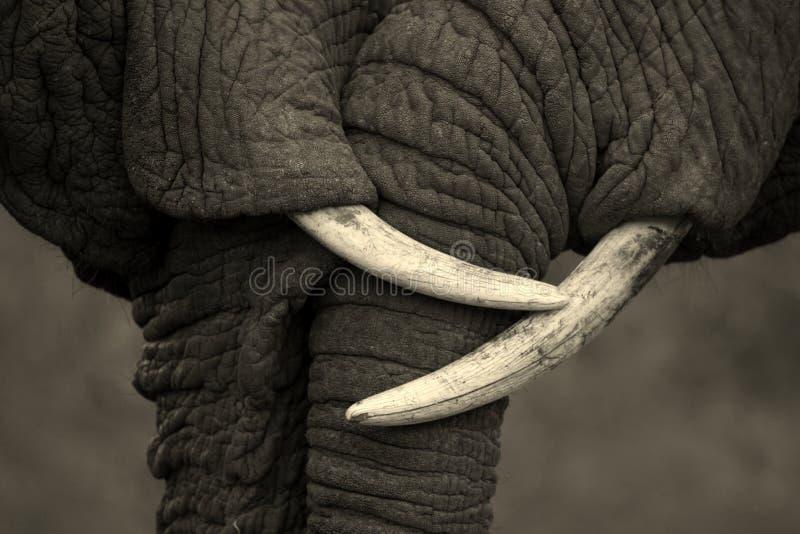 Piękny wizerunek dwa Afrykańskiego słonia oddziała wzajemnie effection i pokazuje miłości i fotografia stock
