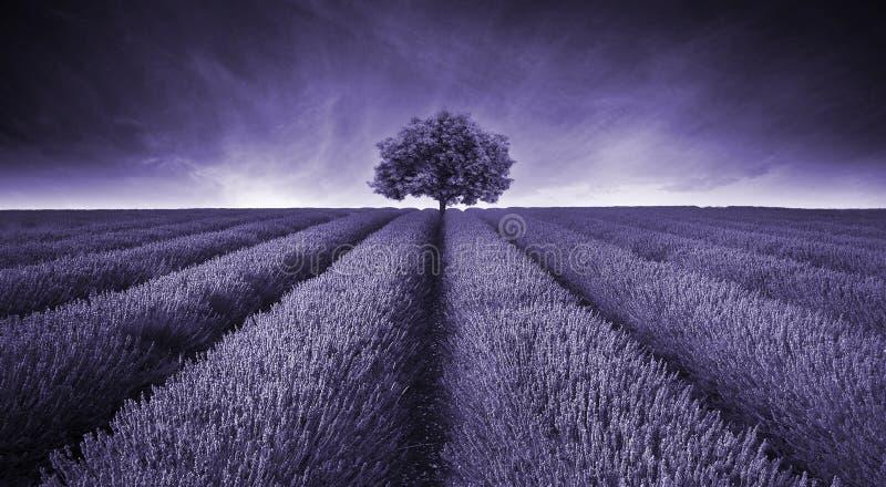 Piękny wizerunek lawendy pola krajobraz z pojedynczą drzewną toną zdjęcie royalty free