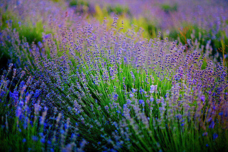 Piękny wizerunek lawendy pole nad lato zmierzchu krajobrazem zdjęcia stock