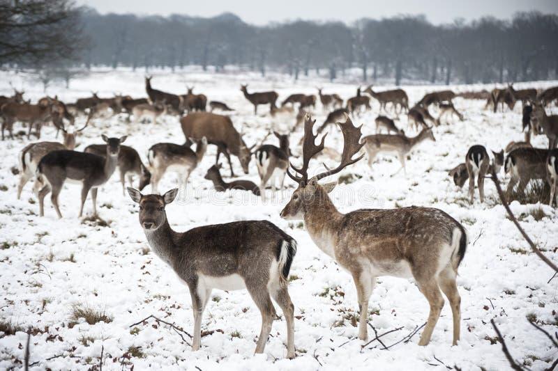 Download Piękny Wizerunek Ugorów Rogacze W śnieżnym Zima Krajobrazie Zdjęcie Stock - Obraz złożonej z marznący, stado: 28958422