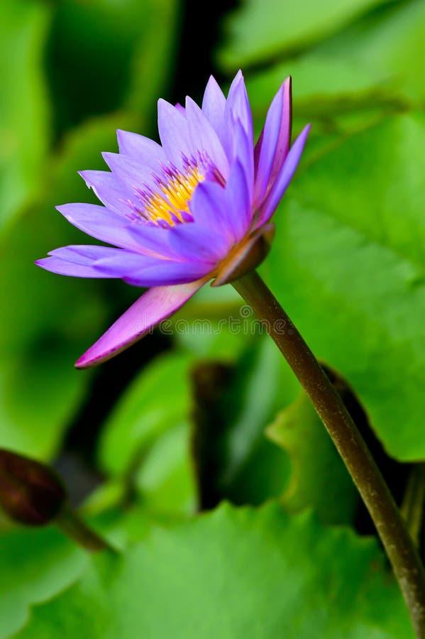 Piękny wodnej lelui kwiat zdjęcie stock