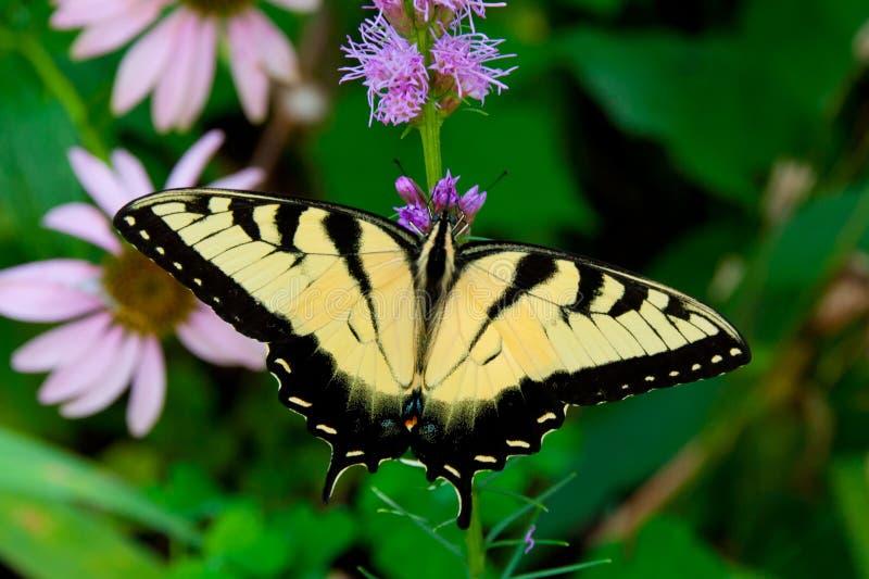 Piękny Wschodni Tygrysi Swallowtail motyl (Papilio glaucus) zdjęcia royalty free