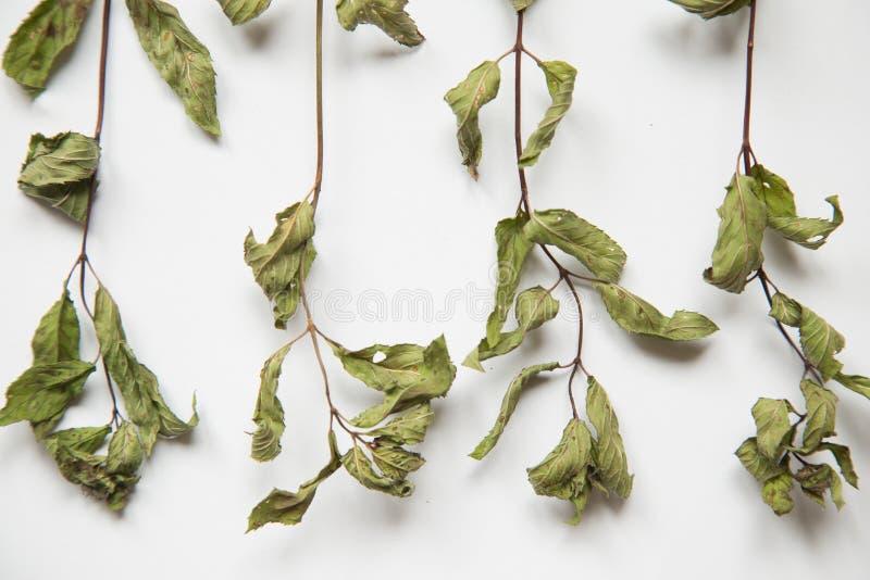 Piękny wysuszony miętowy przygotowywający robić w herbacie Miętówka na biały tle obrazy stock