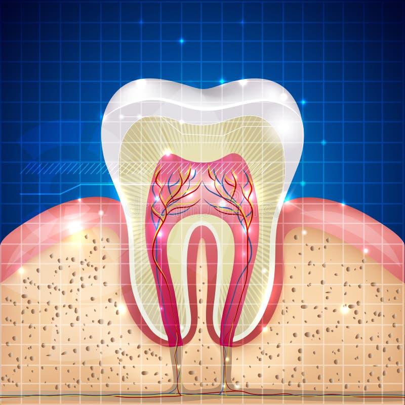 Piękny zębu przekrój poprzeczny ilustracji