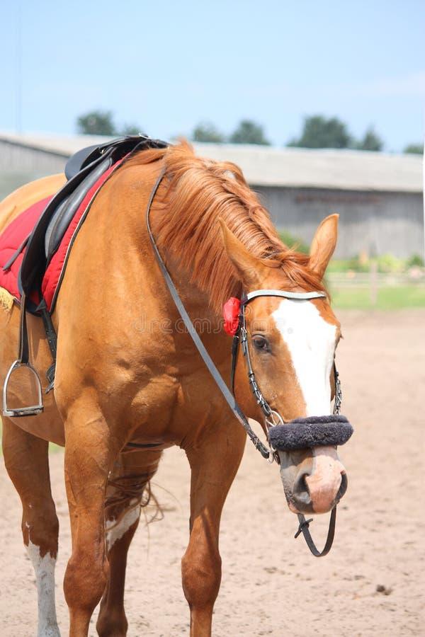 Piękny złoty cisawy koński portret zdjęcia royalty free