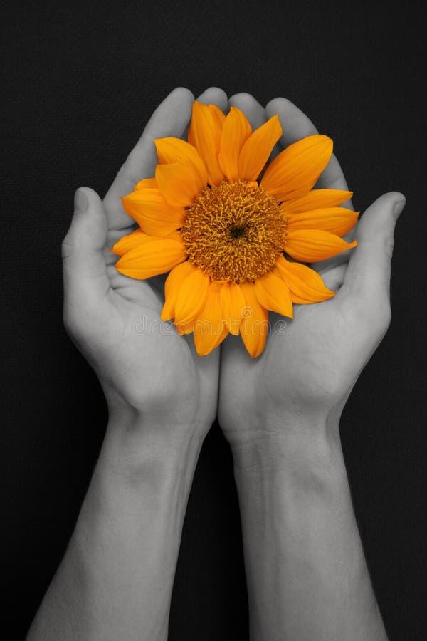 piękny złoty jeden słonecznik fotografia royalty free