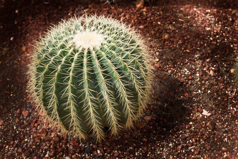 Piękny złoty lufowego kaktusa echinocactus grusonii w ogródzie botanicznym obraz royalty free