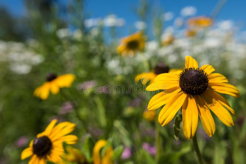Piękny z podbitym okiem Susan stokrotki kwiat, selekcyjna ostrość, zamazany tło białe stokrotki obrazy royalty free