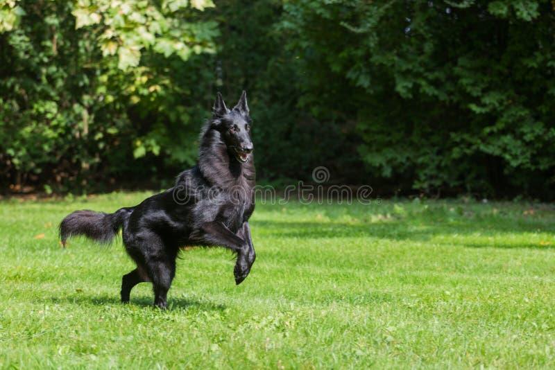 Piękny zabawy Groenendael psa szczeniaka czekanie Czarny Belgijski bacy Groenendael jesieni portret obraz royalty free