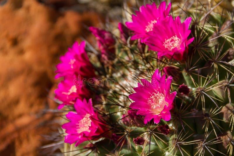 Piękny zakończenie Ferocactus Rafaelensis kaktus w pustyni zdjęcia stock