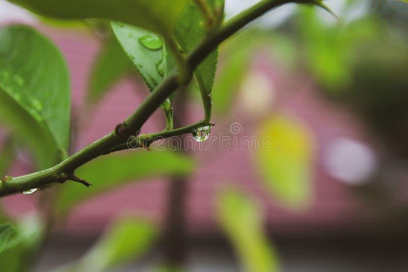 Piękny zakończenie w górę gałąź z deszczem opuszcza na liścia tle zdjęcie stock