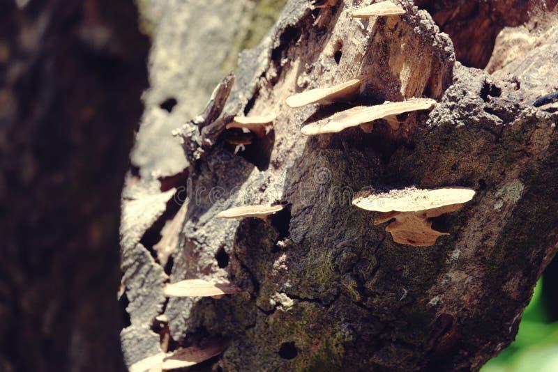 Piękny zakończenie w górę lasowych pieczarek na drzewnej barkentynie w lasowej brąz pieczarce na starej drewnianej beli obraz stock