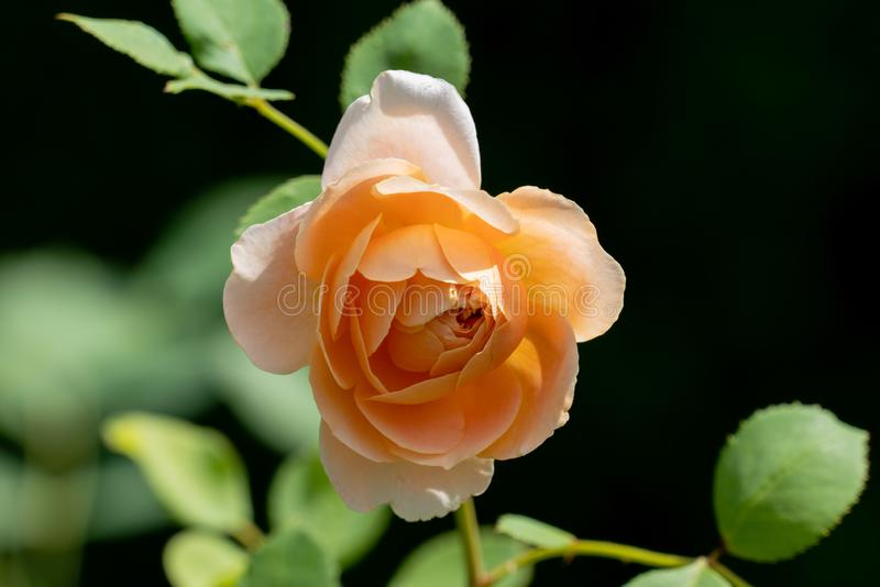 Piękny zakończenie w górę pojedynczego bielu i koloru żółtego cążki kwiatu różana głowa zdjęcia royalty free