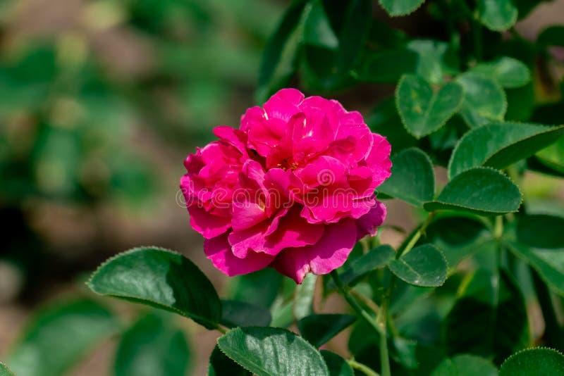 Piękny zakończenie w górę pojedynczego purpurowego westpol kwiatu różanej głowy fotografia stock
