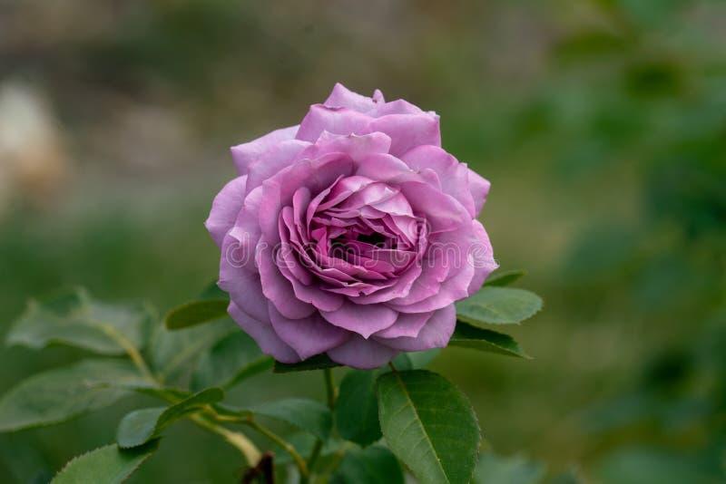 Piękny zakończenie w górę pojedynczych błękitnych novalis kwiatu różanej głowy obraz stock