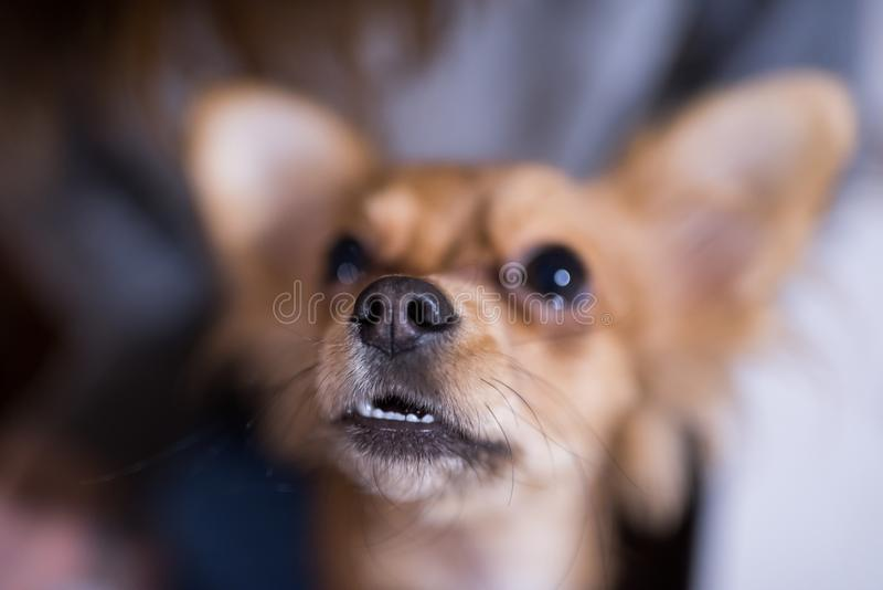 Piękny zakończenie w górę portreta uroczy chihuahua pies zdjęcia stock
