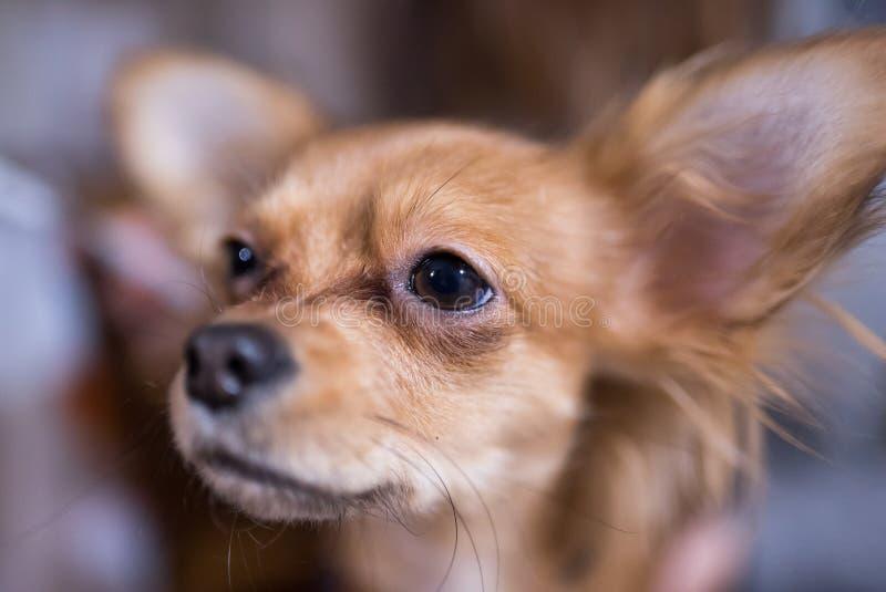 Piękny zakończenie w górę portreta uroczy chihuahua pies zdjęcie royalty free