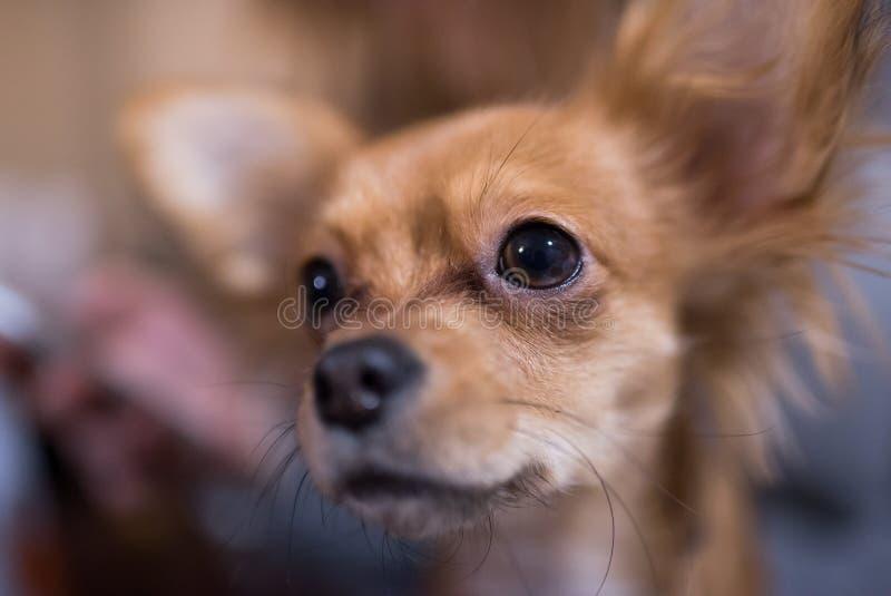 Piękny zakończenie w górę portreta uroczy chihuahua pies fotografia stock