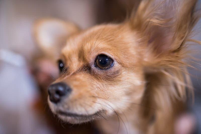 Piękny zakończenie w górę portreta uroczy chihuahua pies obrazy stock