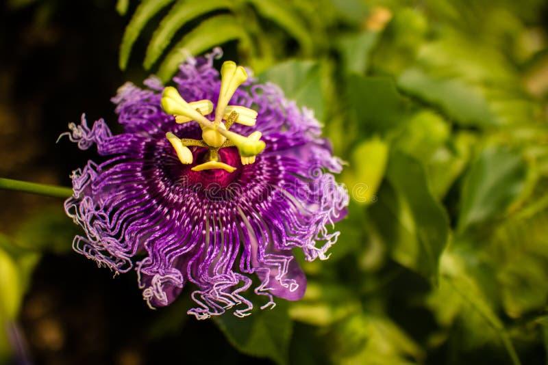 Piękny zakończenie w górę purpurowego passionflower zdjęcia royalty free