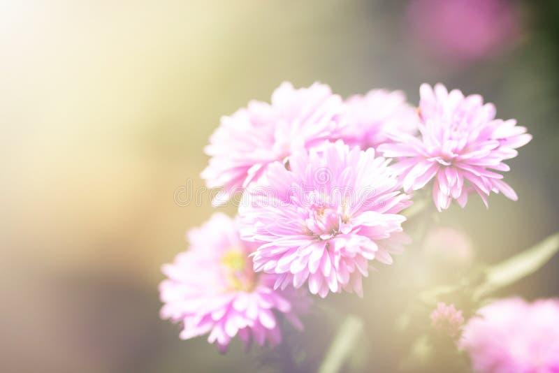 Piękny zakończenie w górę widoku purpurowy Margaret kwiat na miękkim światła słonecznego tle zdjęcie royalty free