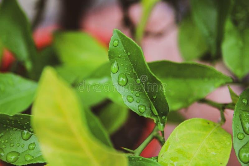 Piękny zakończenie w górę zieleń liści z deszczem opuszcza tło zdjęcie stock
