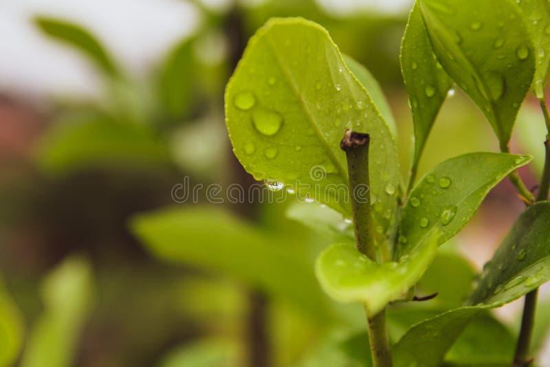 Piękny zakończenie w górę zieleń liści z deszczem opuszcza tło zdjęcia royalty free