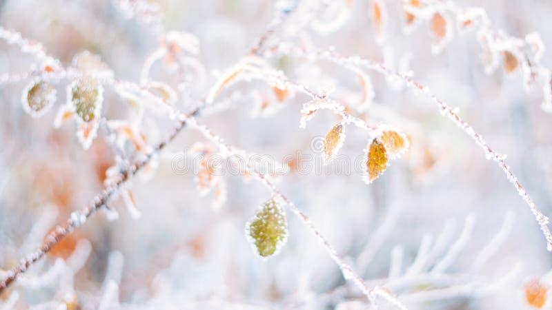 Piękny zamazany delikatny zima mrozu natury tła sztandar Lód zakrywający, mrozowi liście zamknięci w górę Frosen gałąź drzewo obraz royalty free