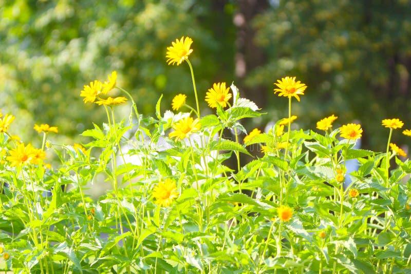 Piękny, zamazany lata tło, miękka ostrość Eleganccy, delikatni, kolor żółty kwiaty z zieleń liśćmi, i trzony zdjęcie royalty free